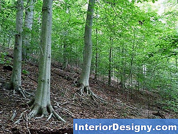 American Beech Tree Information