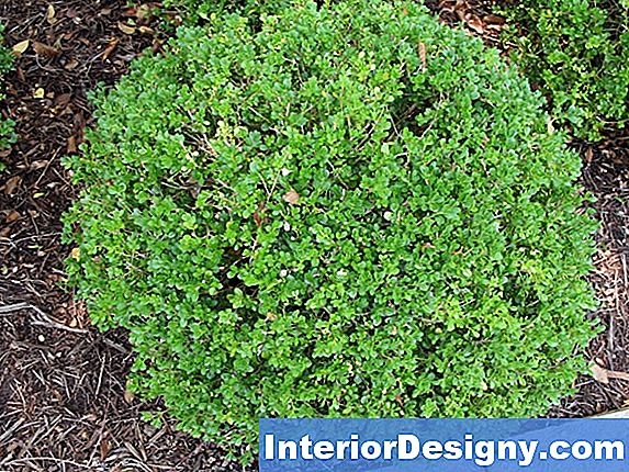 Bloom Time For Common Boxwood