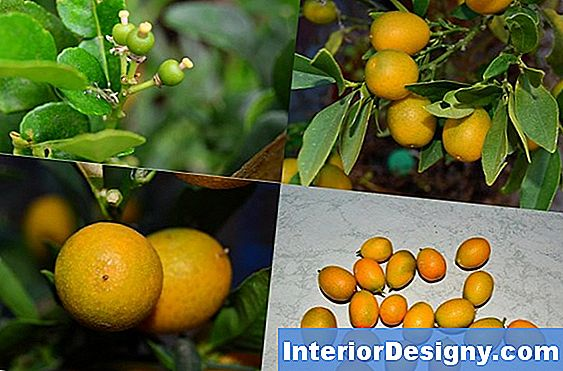Calamondin Propagation