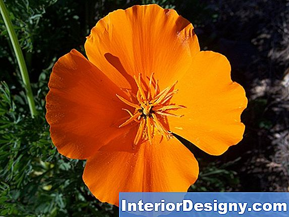 California Poppy Tipps