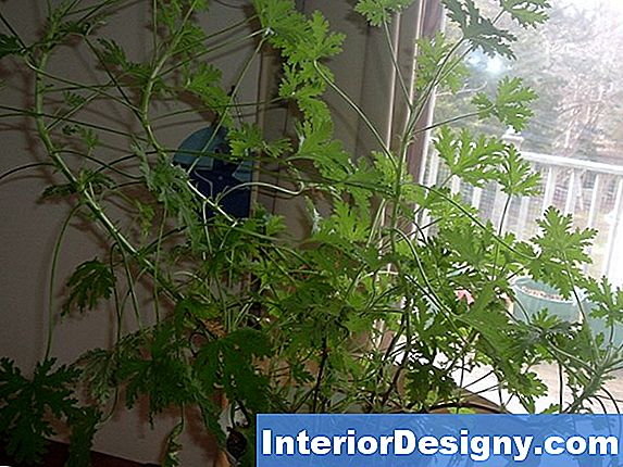 Citronella Plant Care
