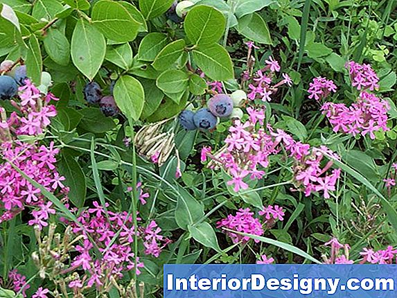 Companion Planting With Blueberry Cespugli