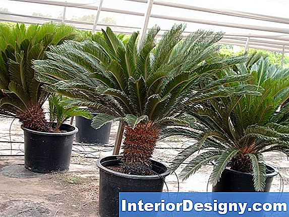 Foxtail Palm Shock Alates Replanting