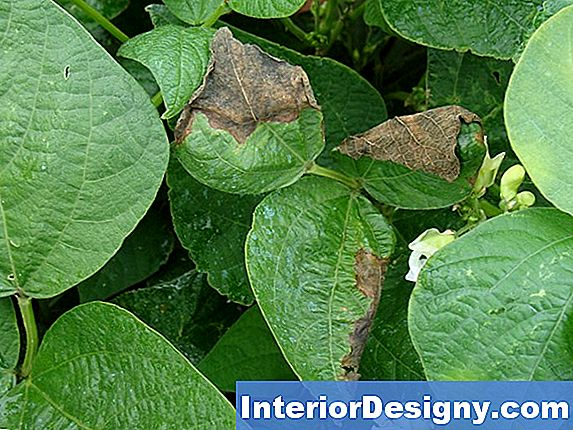 Green Bean Plant Disease