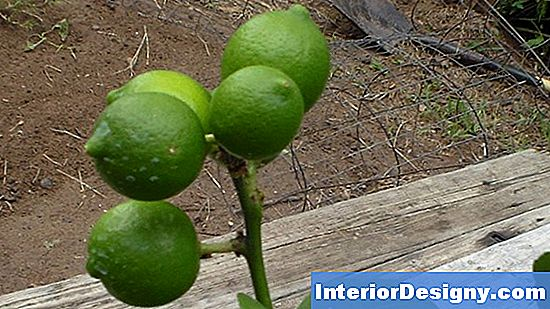 Key Lime Tree Probleme