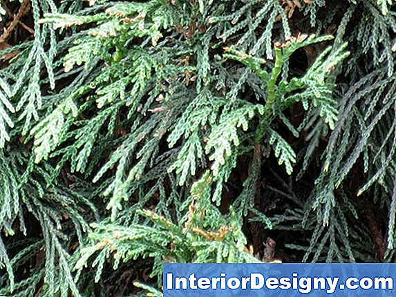 Leyland Cypress Fact Sheet