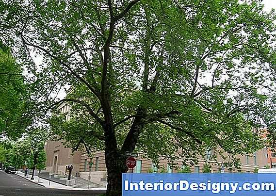 London Planetree Vs. Sycamore