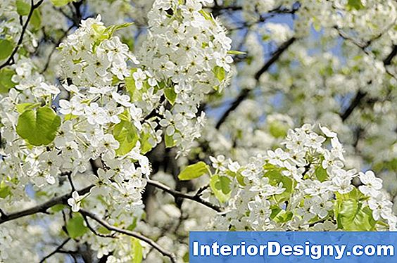 Bradford Pear Insecticide Spray