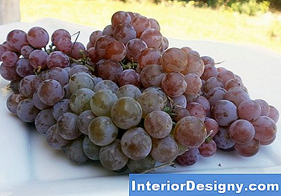 Canadice Red Seedless Grape Pflanzenpflege
