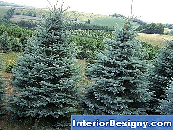 Colorado Blue Spruce Problemer