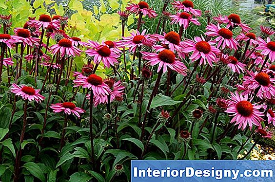 Companion Plants For Coneflowers