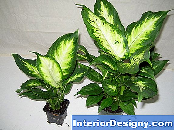 Dumb Cane Plant Care