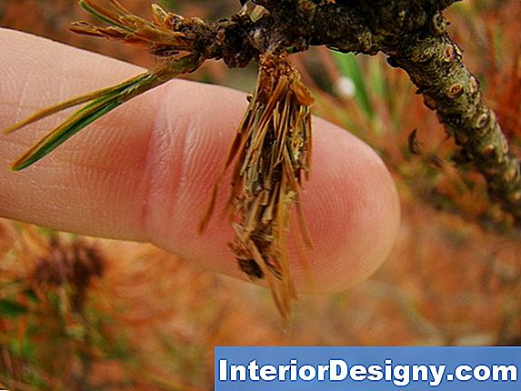 Evergreen Bagworm Cocoons