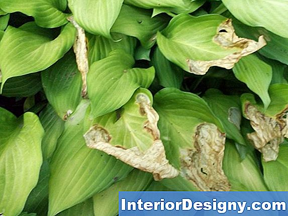 Hostas & Anthracnose Pest