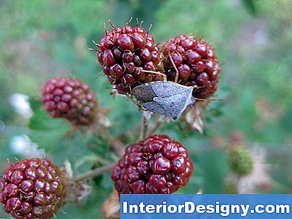 Informasjon Om Thornless Blackberry Plants For Zone 8 Og 9