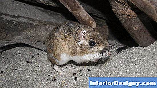 Kangaroo Rat Lawn Infestation