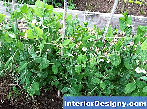 Little Marvel Pea Plant Information