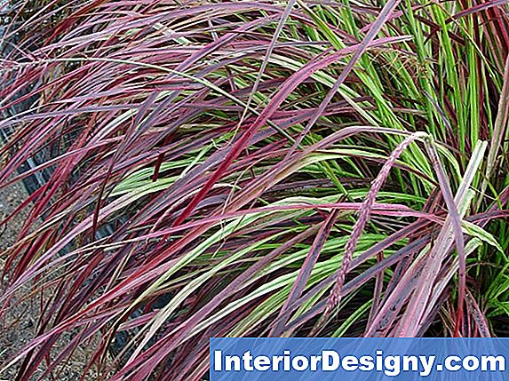 Ornamental Karley Rose Grass