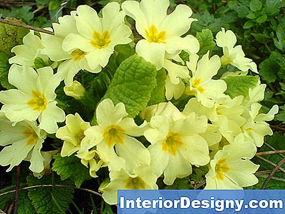 Potting Primrose Taimed