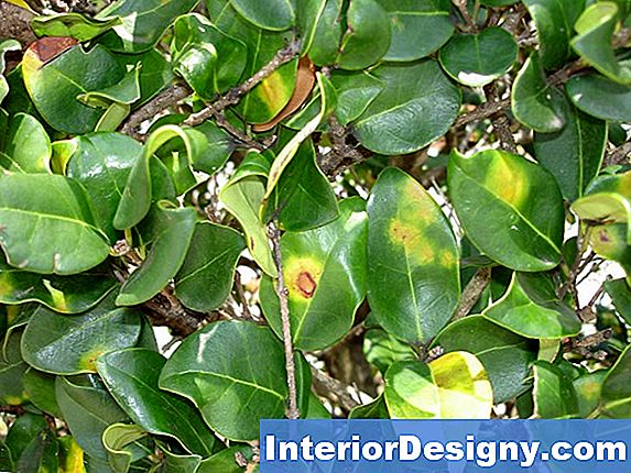 Privet Anthracnose