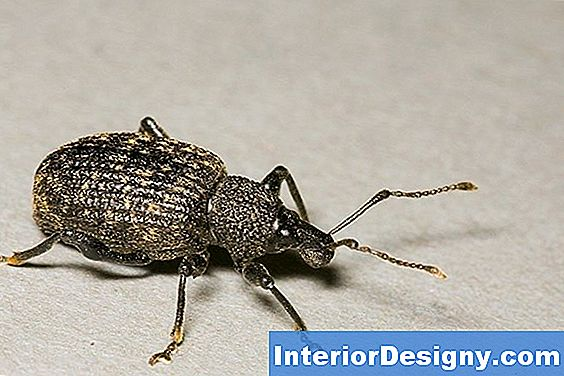 Root Weevils And Diatomaceous Earth