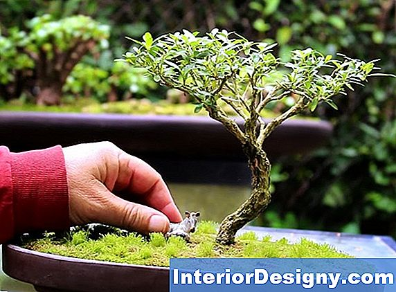 Serissa Bonsai Puud