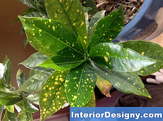 Speckled Croton Plant Care