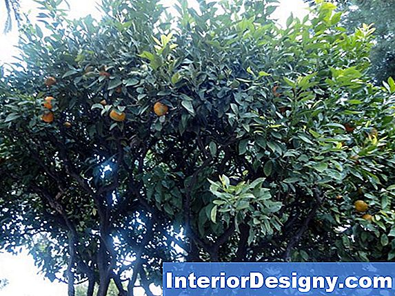 The Type Of Orange Tree Brukes Til Podning