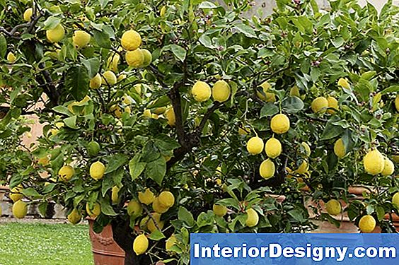 Wie Man Meyer Lemon Trees Befruchtet