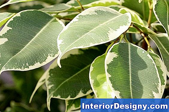 Indoor Ficus Tree Plant Care