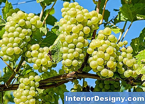 Canadice Seedless Pruning Methode
