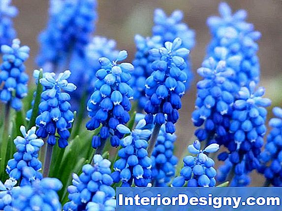 Muscari Bloom Drinnen?