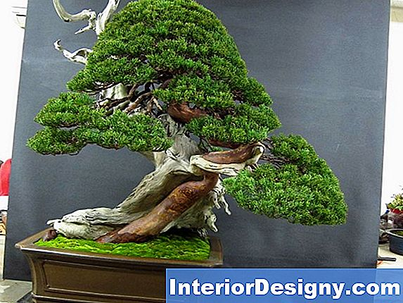 Zwerg Wacholder Bonsai Tree Care