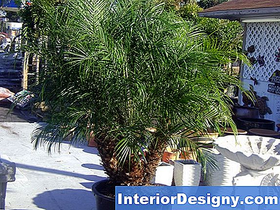 Fertilizing Dwarf Date Palms