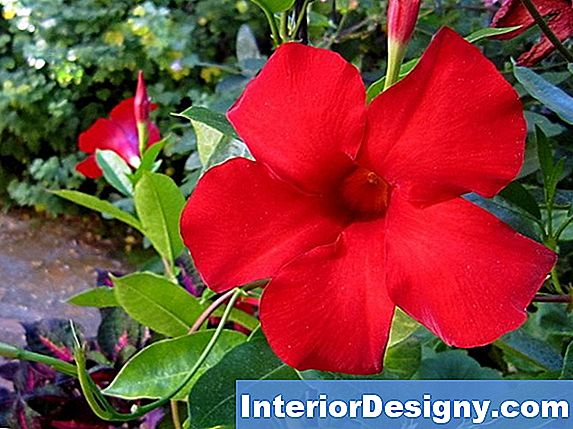 Giant Crimson Mandevilla Care