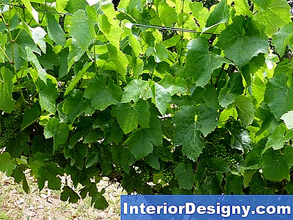 Grapevine Pest & Ihr Management