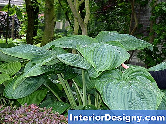 Hostas & Die Anthraknose Pest