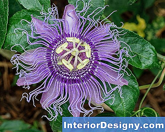 Wie Corky Stem Passion Flower Pflege