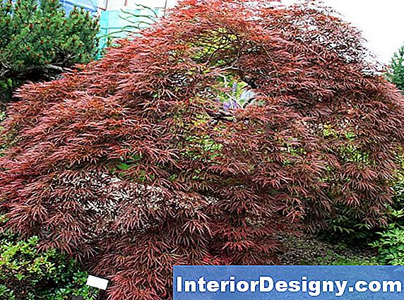 Wie Man Ein Acer Palmatum 'Orange Dream' In Voller Sonne Anbaut