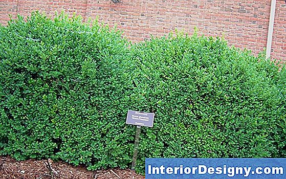 Wie Green Mountain Boxwood Pflanzen