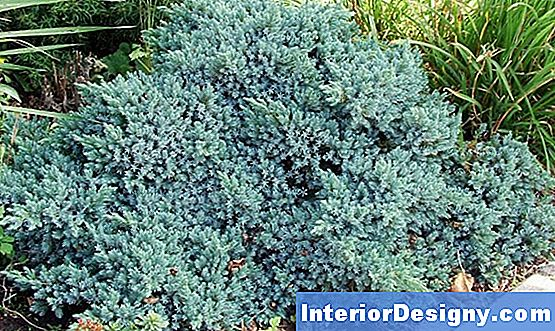 Juniper Ground Cover Bewässerungsrichtlinien