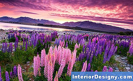 Lupine Sunrise Istutusjuhised