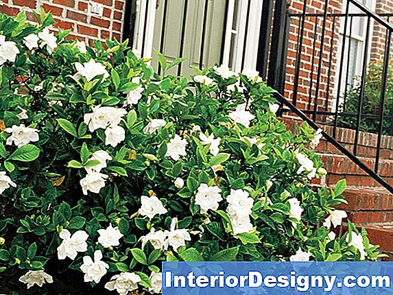 Outdoor Jasmine Plant Guide