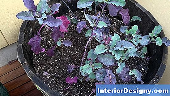 Purple Tree Collards Verbreiten
