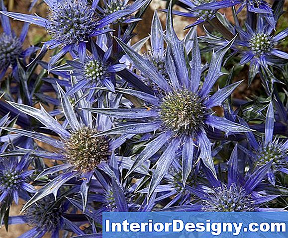 Sea Holly Pflanzeninformation