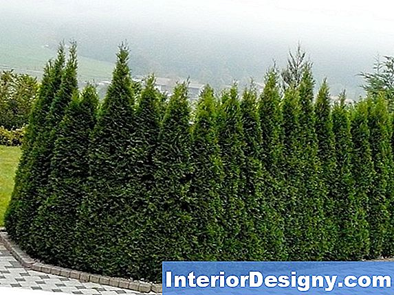 Emerald Green Arborvitae Disease