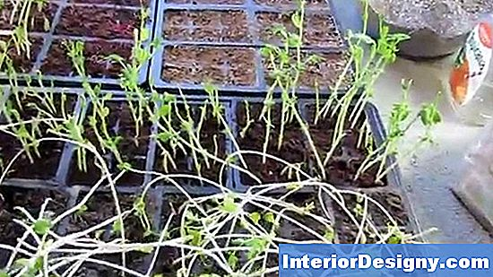 Tall Spindly Tomato Plants