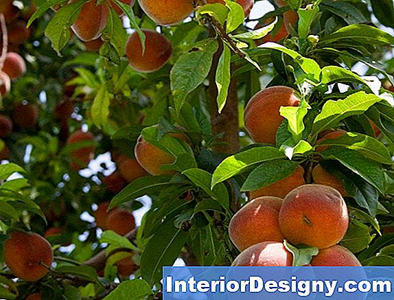 About Hale Haven Peach Tree