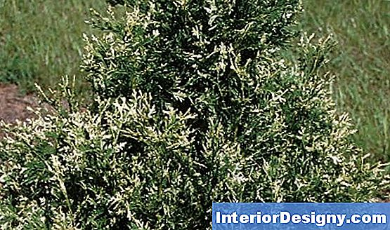 Arborvitae Ph Tasemed