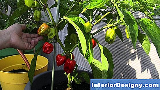 Chocolate Bell Pepper Plant